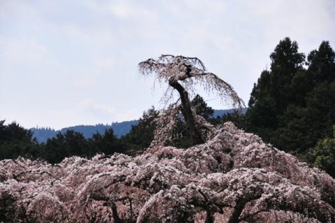 関東:長興山紹太寺のしだれ桜